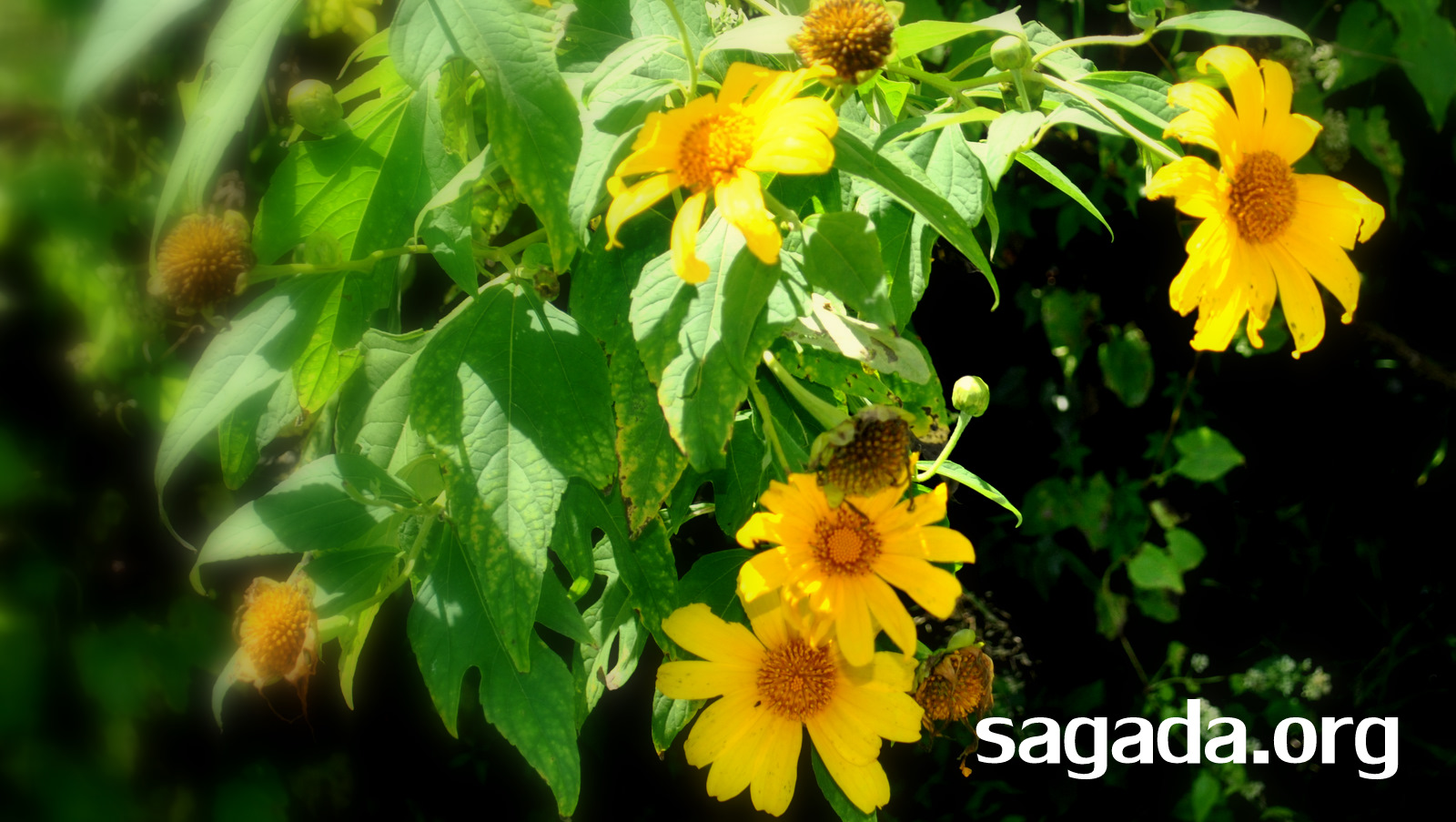 Ankileng-Sagada-sunflowers-2011-November-19