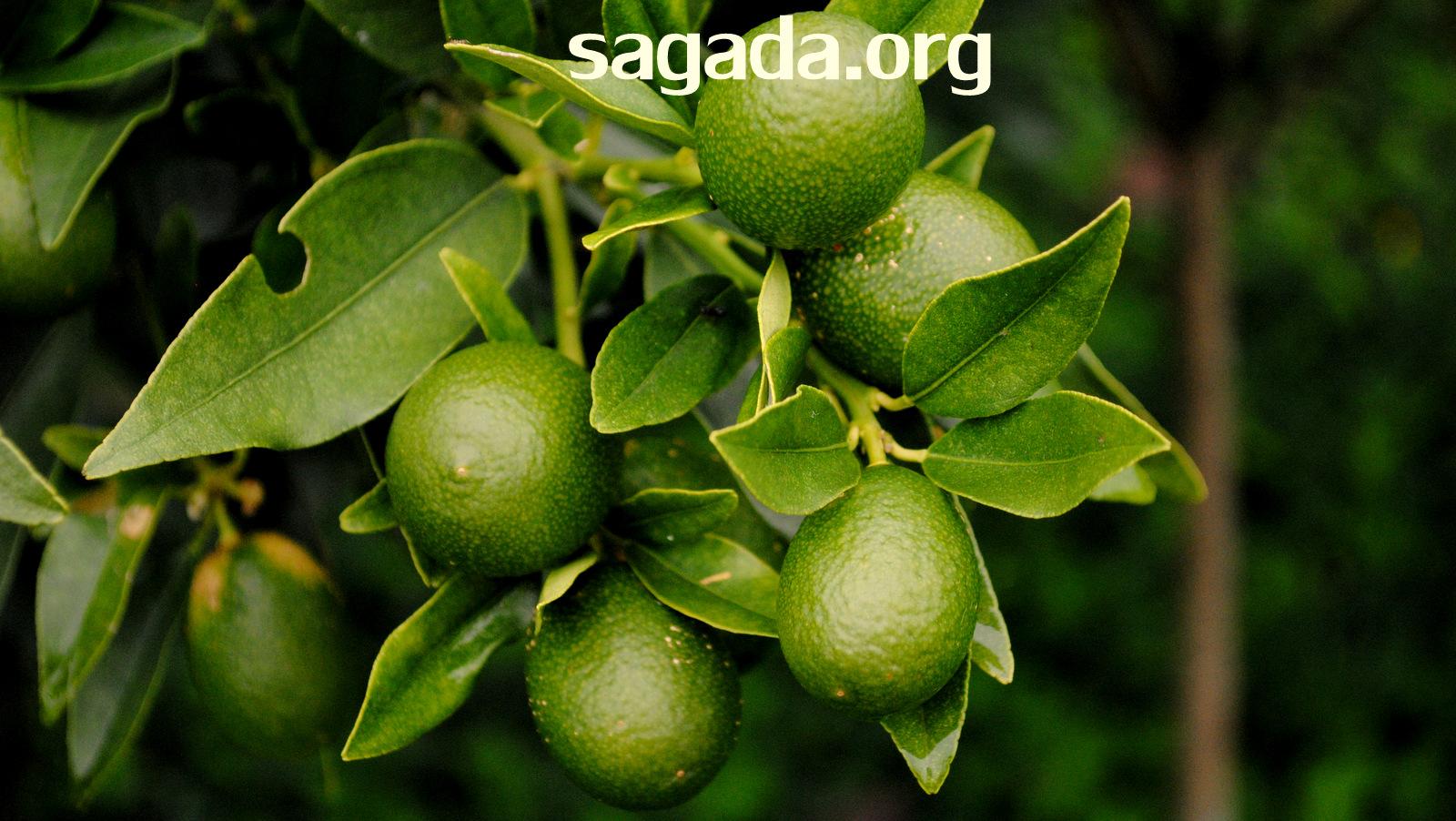 Balugan, Sagada: Oranges 2011
