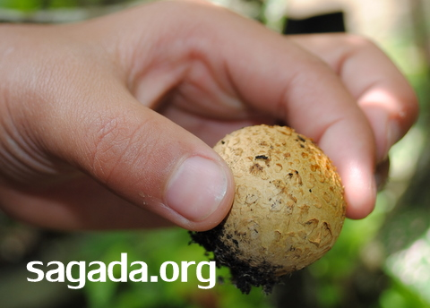 Sagada Mushroom Atayan 002