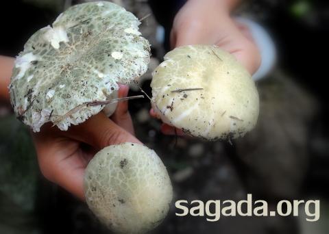 Sagada Mushroom Kaputan 001