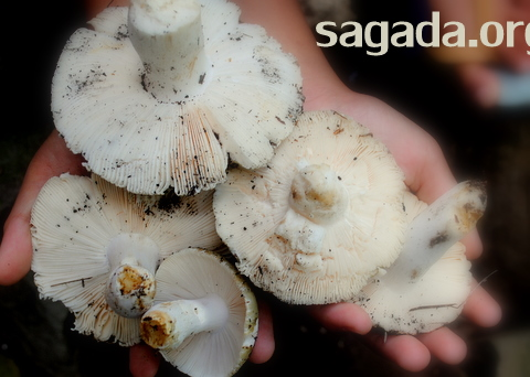 Sagada Mushroom Kaputan 002