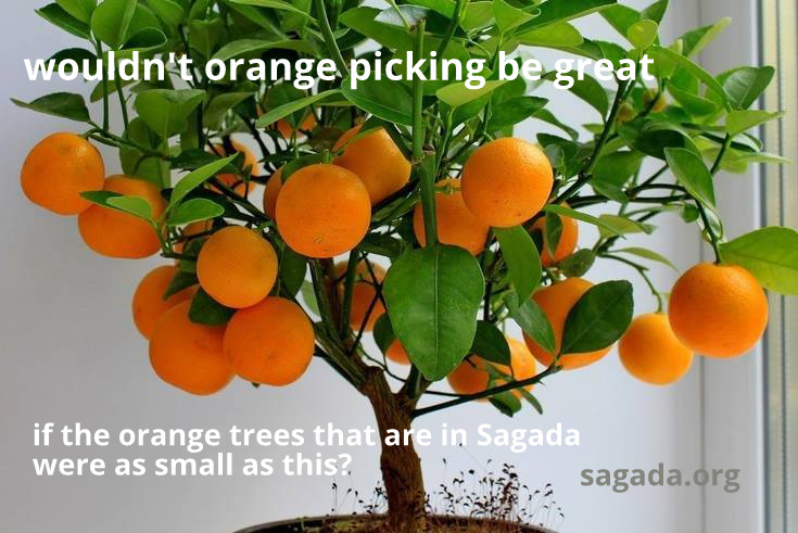 Sagada orange picking wish