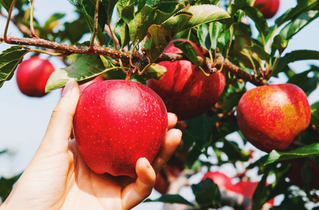 Sagada Apples, anyone? | Taste Sagada
