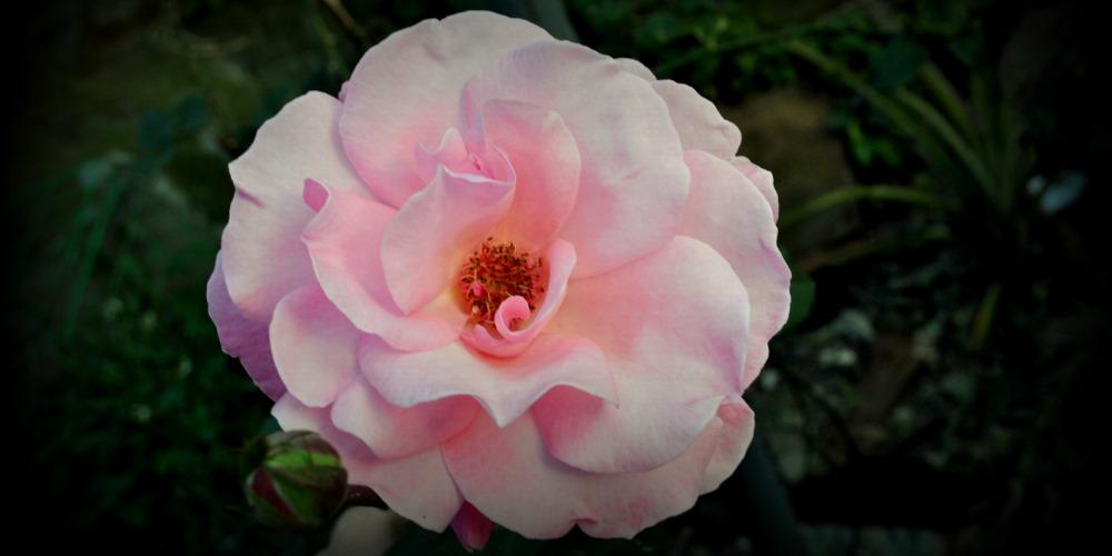 Sagada Rose